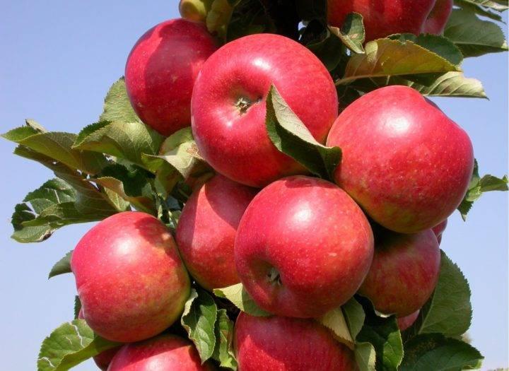 Сорт яблони мечта: основные характеристики и советы по выращиванию