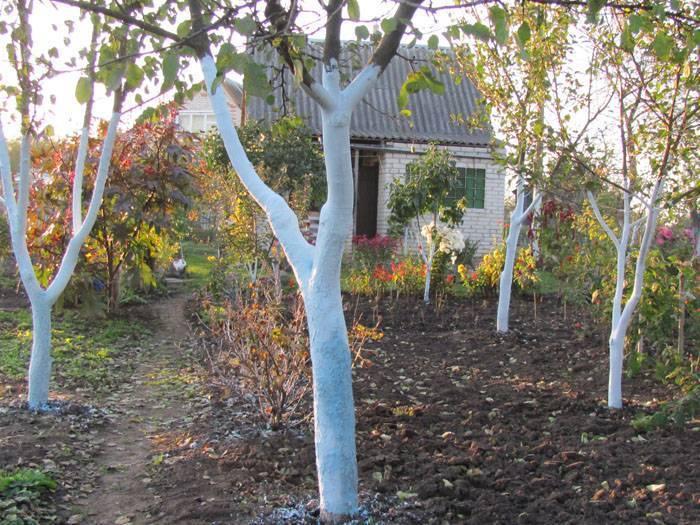 Как правильно побелить деревья и кустарники в саду