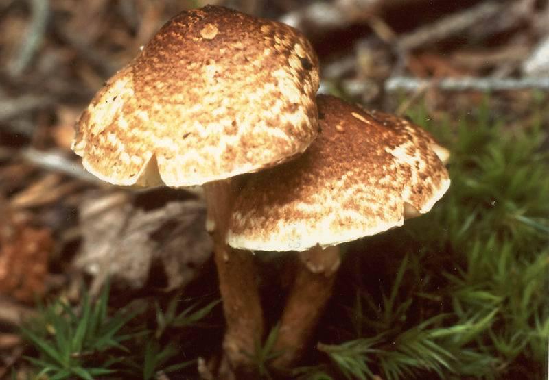 Каштановый гриб (gyroporus castaneus): где растет, виды, фото
