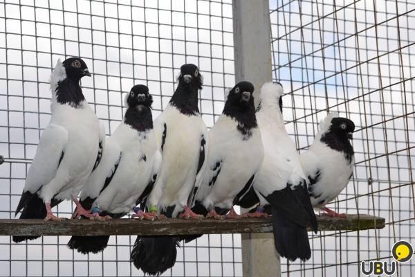 Голуби монахи: все о древней породе птиц