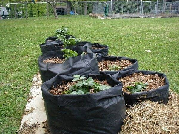 Посадка картофеля в бочку: пошаговая инструкция, видео и отзывы