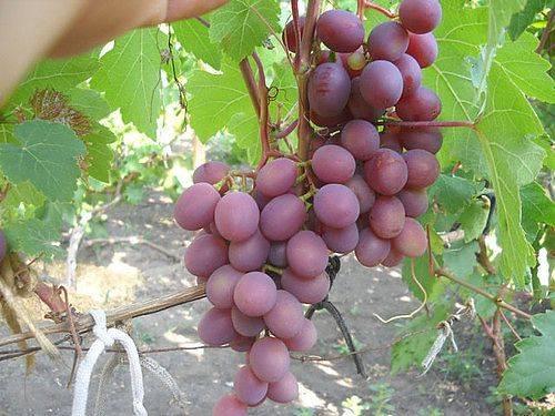 Виноград ландыш: описание сорта, выращивание и уход, фото и отзывы