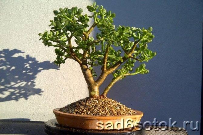 Толстянки, крассулы, денежные деревья. часть 2