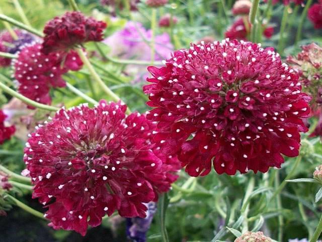 Цветы скабиоза: их фото, выращивание из семян, пурпурная и кавказская скабиоза