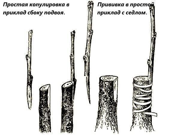 Как правильно и когда прививать плодовые деревья