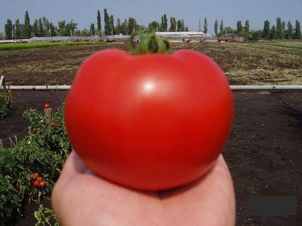 Волшебные свойства сорта томатов багира