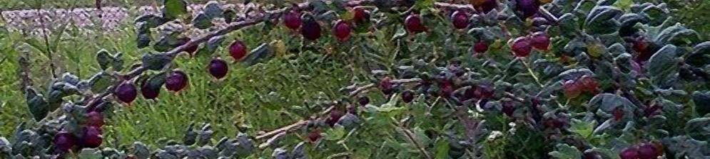 Описание сорта крыжовника Черный негус — советы садоводам