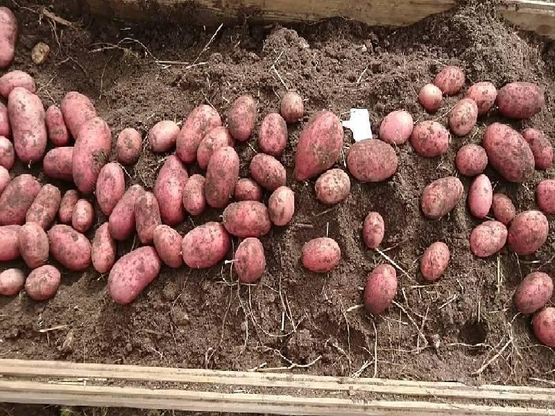 Картофель родриго: характеристика и описание сорта, преимущества и недостатки