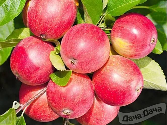 Описание и основные характеристики яблони сорта солнцедар и рекомендуемые регионы для выращивания - всё про сады