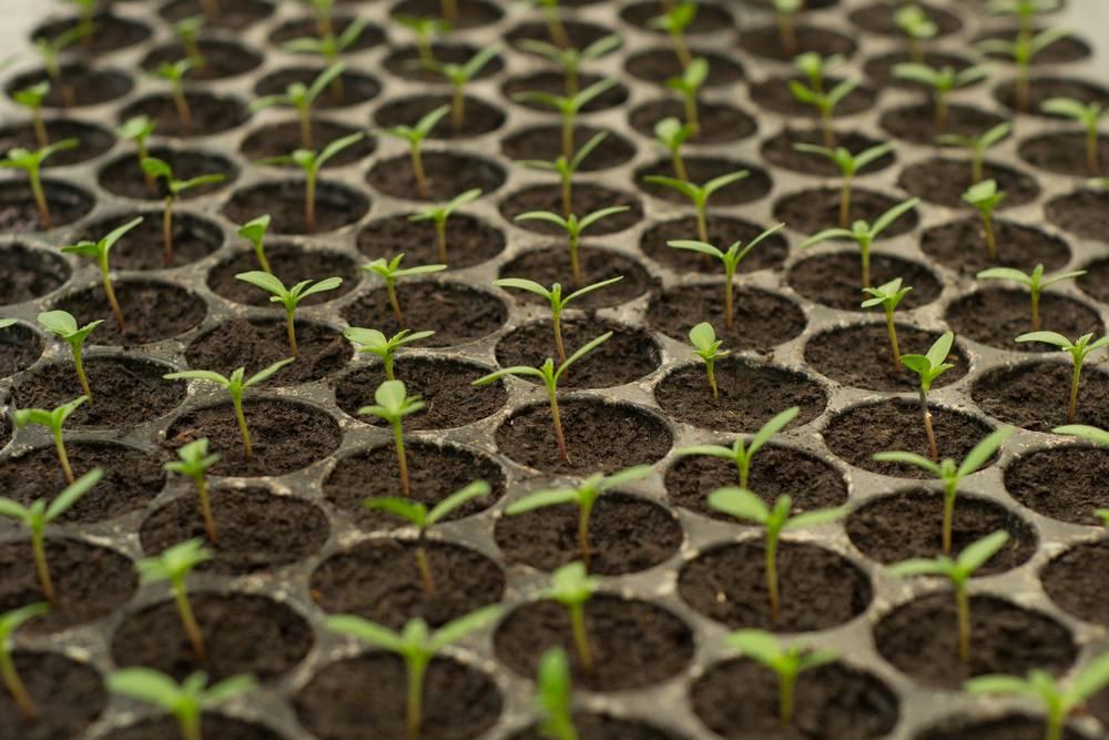 Голубиный помет как удобрение – как применять для подкормки овощей, состав полезных компонентов