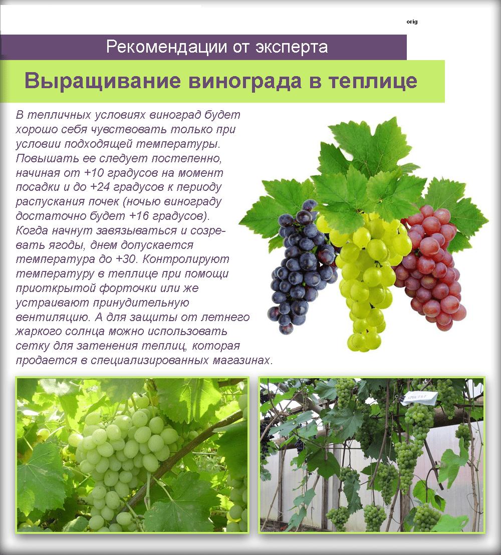 Посадка винограда в сибири для начинающих и опытных садоводов