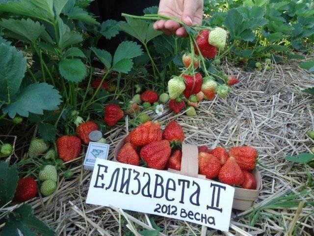 Клубника елизавета 2 описание сорта, советы по уход на всаду.ру