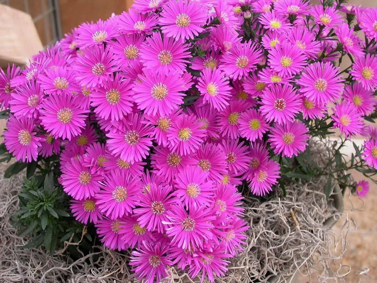 Цветы сентябринки: размножение, посадка и уход, болезни + фото