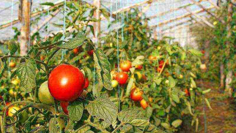 Какие сорта помидоров лучше сажать в теплице из поликарбоната: правила выращивания томатов в этом сооружении и описание подходящих видов для урала и других регионов русский фермер