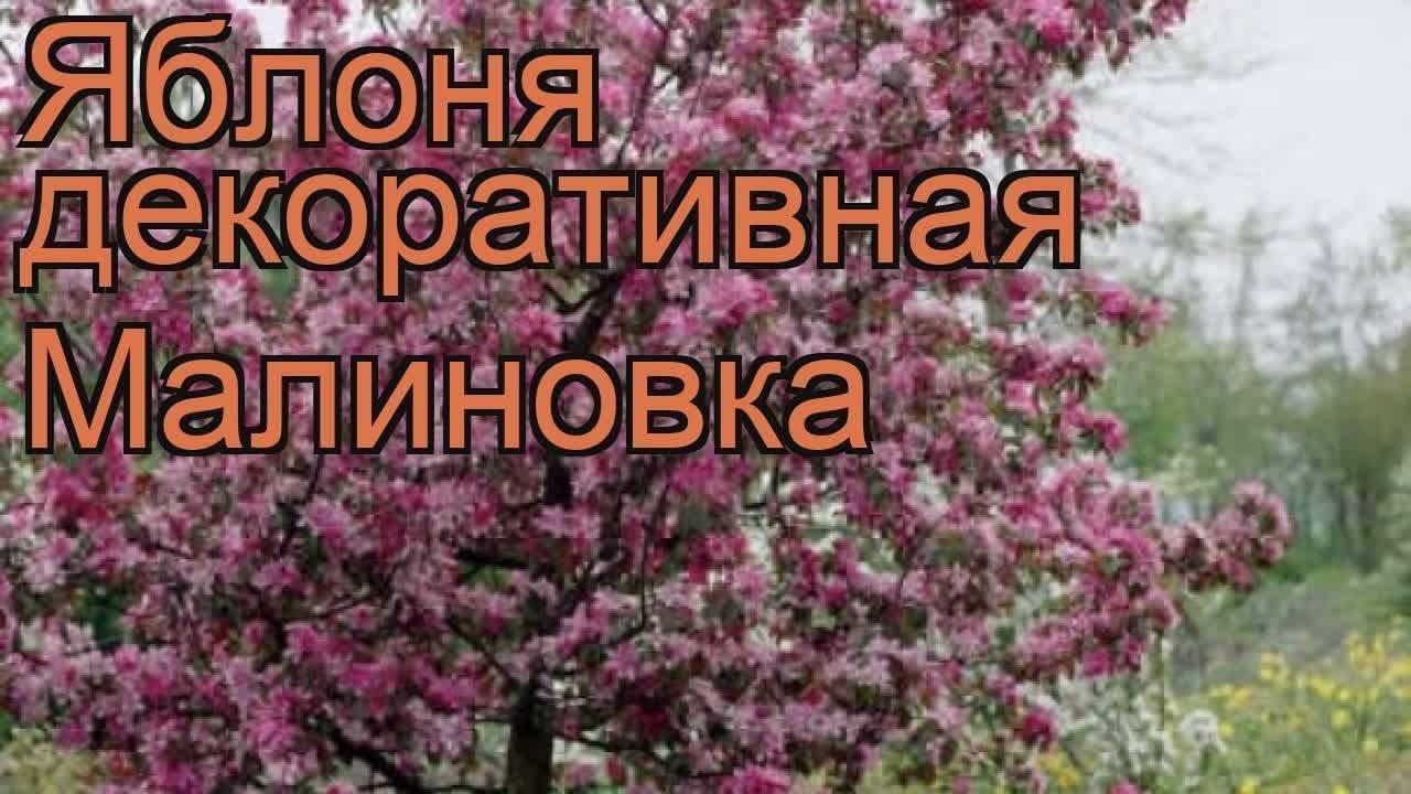 Яблоня «малиновка» («суйслепское», «суйслепер»): посадка и уход, описание сорта и фото