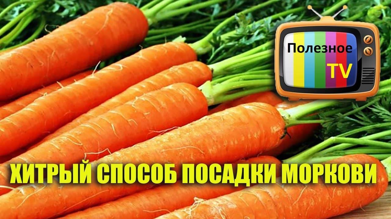 Посадка моркови весной в открытый грунт. когда сажать морковь в 2021 году