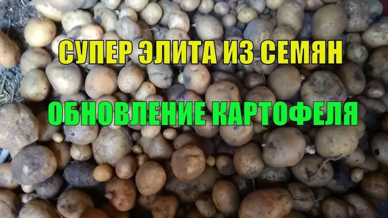 Выращивание картофеля: посадка в домашних условиях на рассаду и семенами в открытый грунт, фото, видео и отзывы