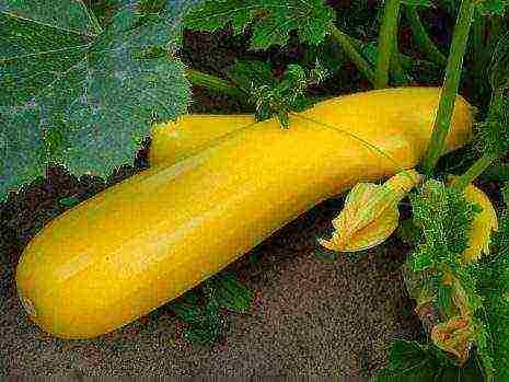 Сорта кабачков: обзор различных видов семян с описанием и фото