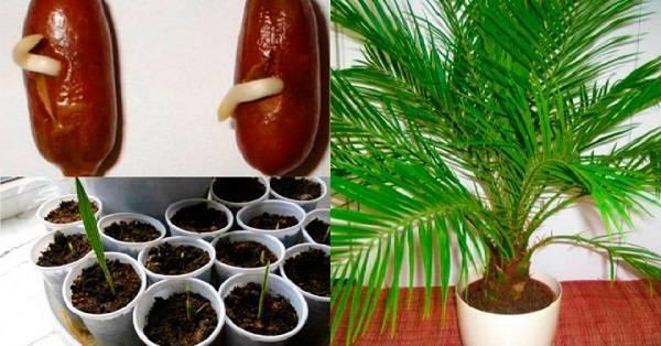 Как вырастить финиковую пальму из косточки: посадка и уход в домашних условиях - sadovnikam.ru
