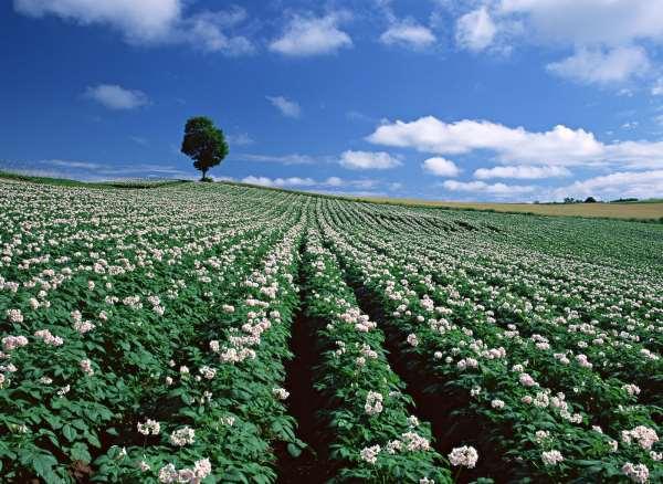 Можно ли обрывать цветы у картофеля - как правильно и когда?