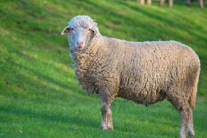 Цигайская порода овец: характеристика и советы по содержанию