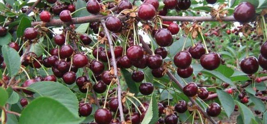 Гибрид черешни и вишни (25 фото): описание сортов черешеневого дюка, опылители для черевишни, отзывы