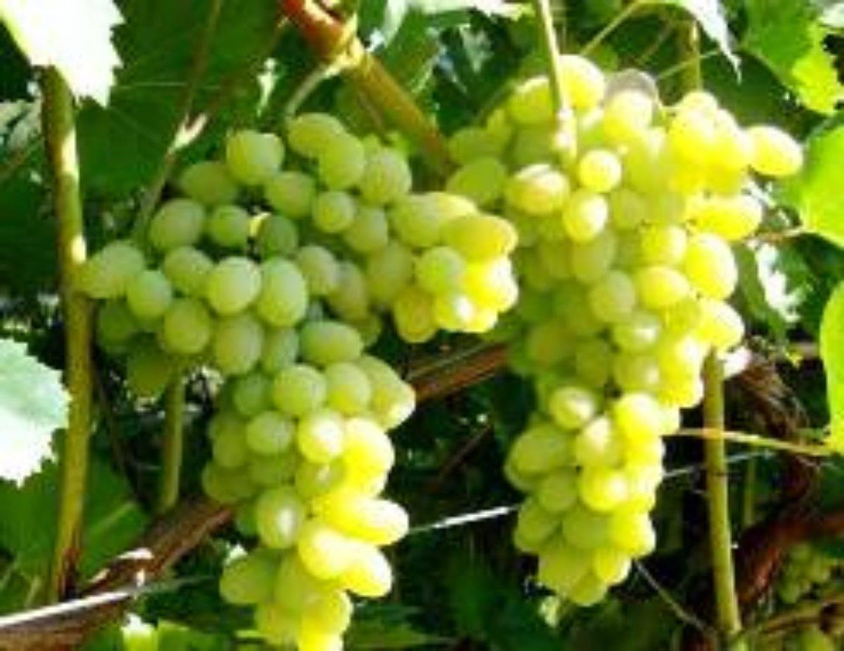 Сорт винограда «лора», описание, фото и видео