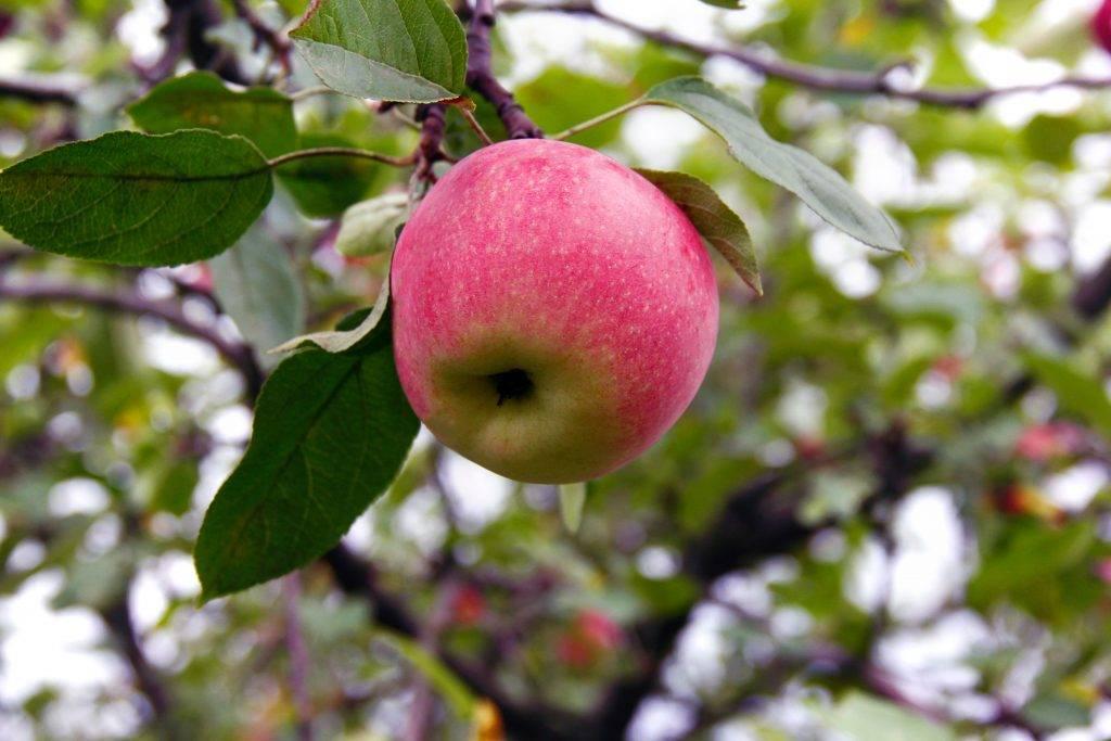 Лучшие сорта сладких яблок: белорусское сладкое, медок, коробовка, конфетное, аркад желтый, описание, характеристика плодов, особенности культивирования
