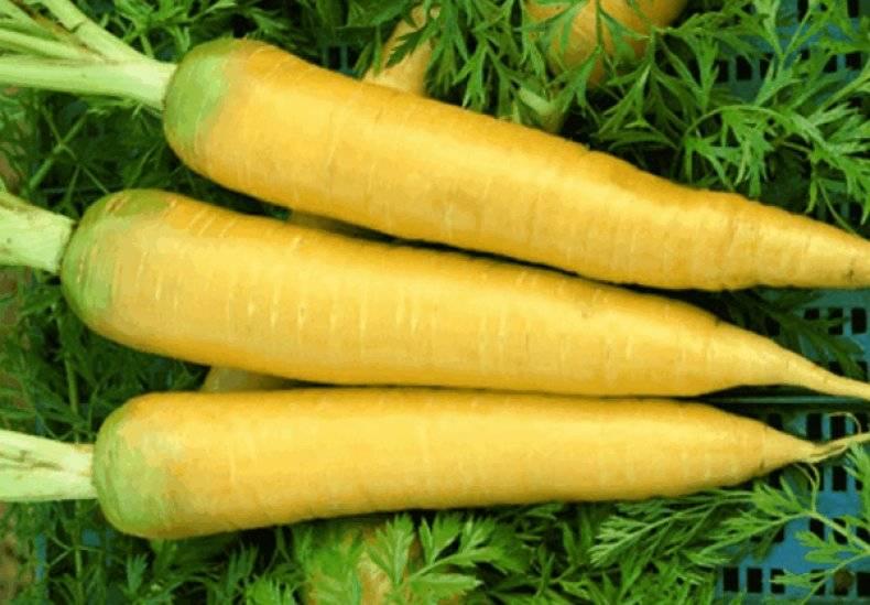 Желтая морковь: что это такое и почему она йеллоустоун, польза и вред семян, химический состав, чем отличается от оранжевой, описание сорта, можно ли есть