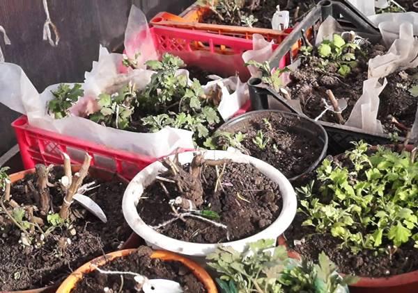 Как укрыть хризантемы на зиму на участке — особенности укрытия цветов в подмосковье и средней полосе
