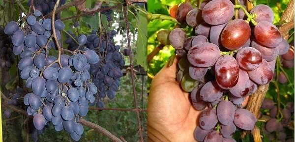 Виноград чарли: описание сорта, фото, отзывы