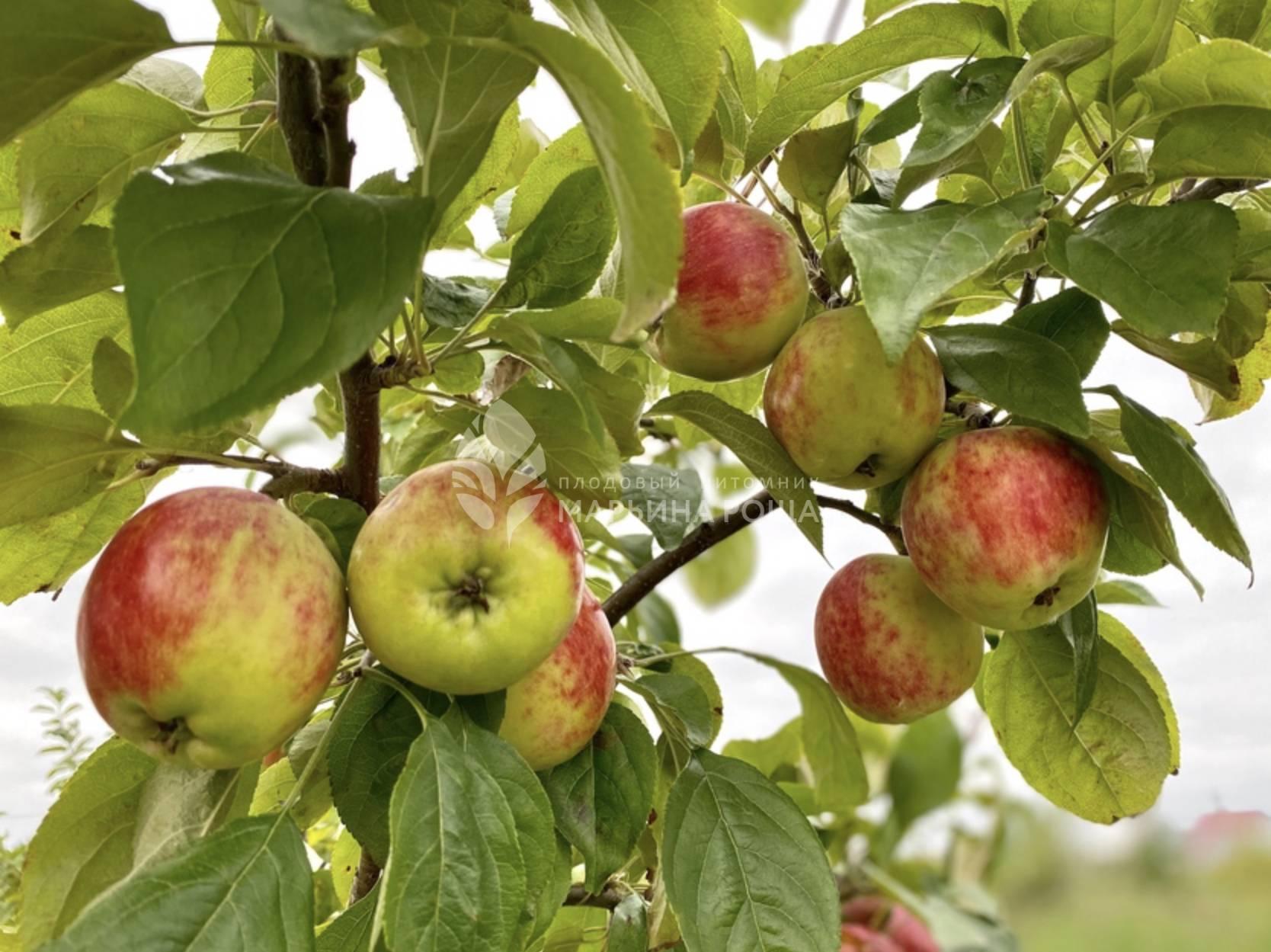 Яблоня сладкая нега
