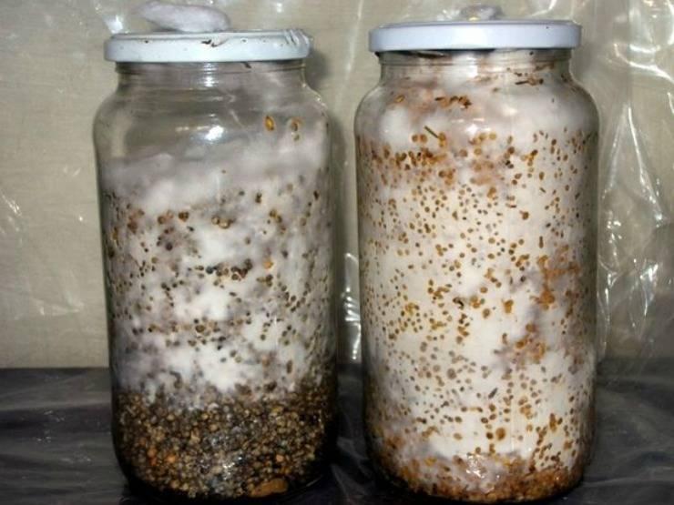 Как выращивать грибы вешенки в домашних условиях: технология и уход