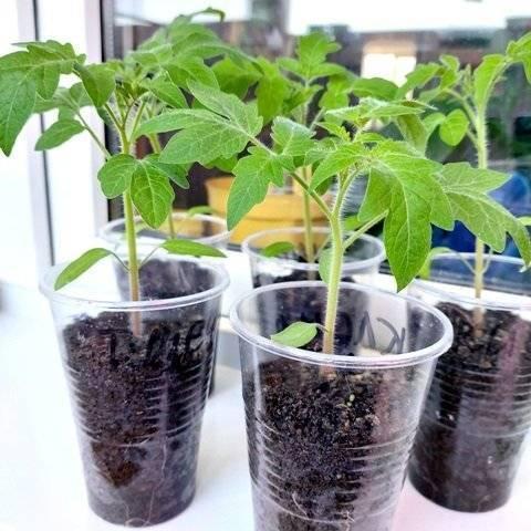 Пикировка вытянувшейся рассады томатов