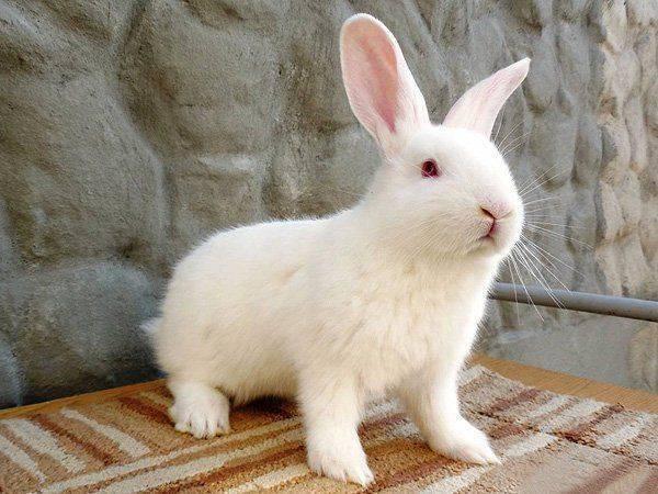 Порода кроликов белый паннон характеристика