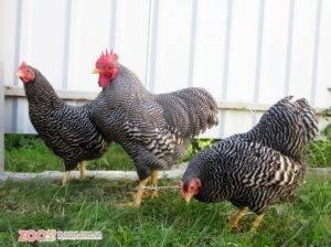 Плимутрок полосатый: описание породы кур и фото