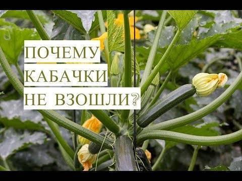 Через сколько дней всходят кабачки после посева