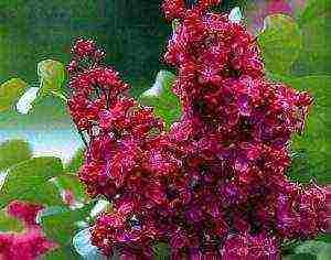 Сирень красавица москвы для посадки на участке, уход, фото, условия выращивания - my life