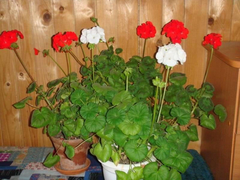 Уход в домашних условиях за пеларгонией: как правильно заботиться о растении - пошаговая инструкция, понятная даже для начинающих, а также фото цветка selo.guru — интернет портал о сельском хозяйстве