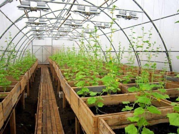 Подкормка огурцов в теплице пометом, золой > видео + схема ухода осенью в августе