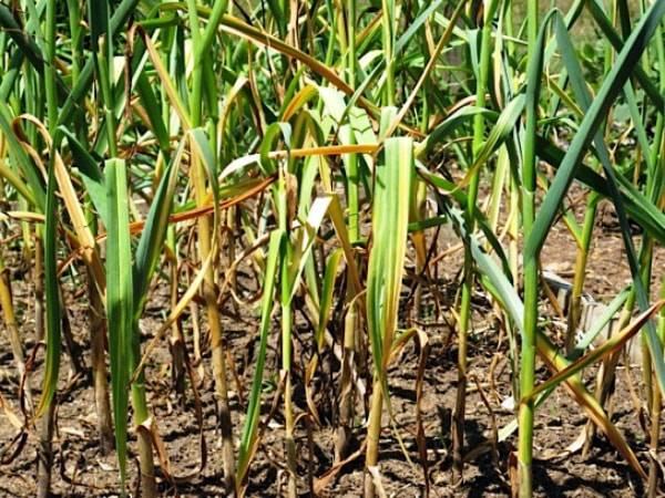 Подкормка чеснока весной как гарантия высокой урожайности