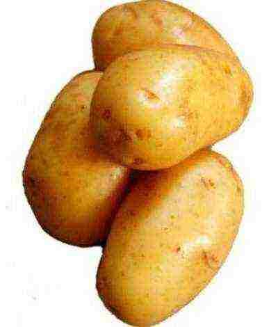 Картофель киевский свитанок описание сорта фото отзывы