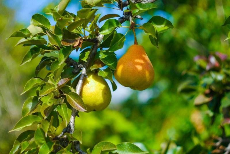 Как заставить грушу плодоносить каждый год: что делать для плодоношения