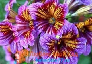 Сальпиглоссис: 110 фото применения в ландшафтном дизайне и уход за цветком
