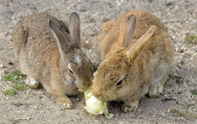 Можно ли кроликам давать капусту: польза или вред, в каком количестве