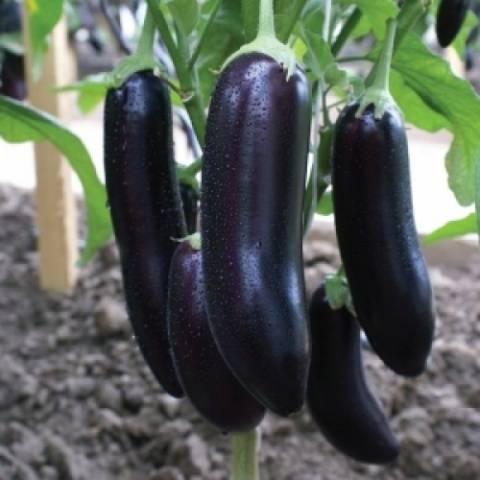 Баклажан галинэ f1: описание, выращивание, уход, фото