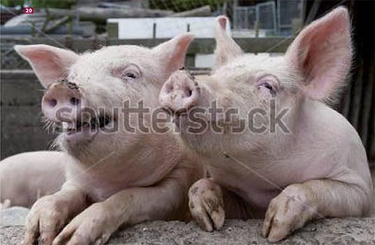 Осеменение свиней в домашних условиях