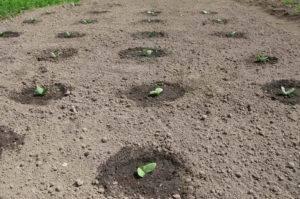 Тыква выращивание и уход в открытом грунте
