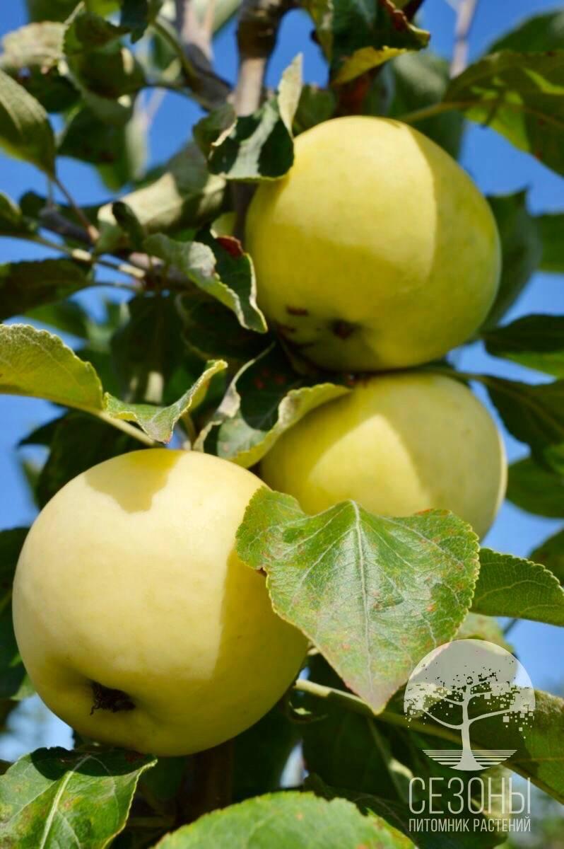 Яблоки белый налив: описание сорта, фото, отзывы, полезные свойства, когда созревают