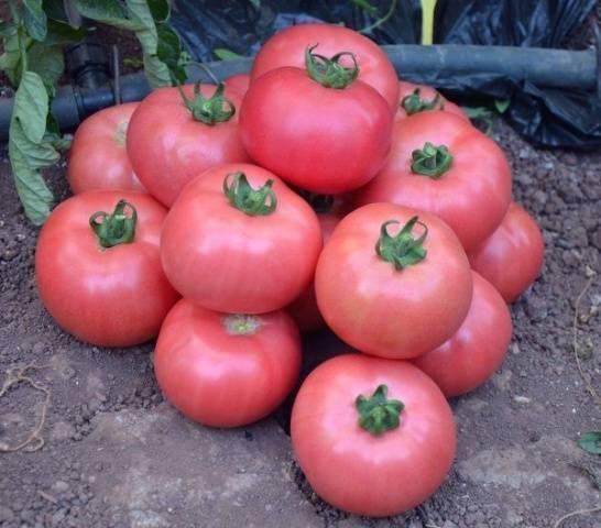Особенности посадки и ухода за томатами сорта малиновое чудо от «садов россии»